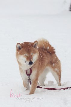If I don't see the snow it doesn't exists. Shiba inu