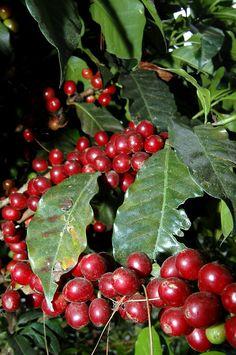Cafeto maduro para cosechar      Popayan  Cauca  Colombia