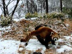 red pandas playing in the snow http://dailypicksandflicks.com/2012/05/28/red-panda-loves-snow-video/