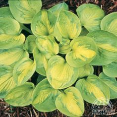 Hosta are among the most popular of perennials for shady areas, with hundreds of varieties now readily available. This smaller selection has bright golden leaves with an extremely unusual streaky green marking around . Hosta Plants, Shade Plants, Home Grown Vegetables, Growing Vegetables, Beautiful Gardens, Beautiful Flowers, Home Flower Arrangements, Hosta Varieties, Sempervivum
