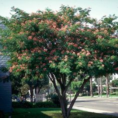 Mimosa Trees for Sale – FastGrowingTrees.com