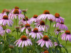 Tough-as-nails low maintenance plants - yarrow, hardy geranium, primrose, salvias, sunflower, daylily, purple coneflower, fountain grass