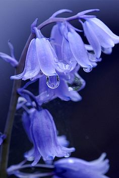 Perwinkle flowers with dew drops.
