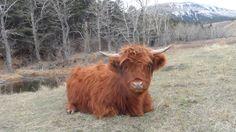 Nevis cow