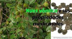 Nuez vómica y sus propiedades medicinales