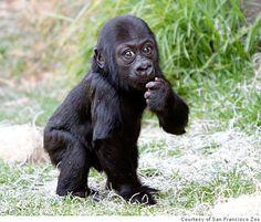 gorilla zoo - Pesquisa Google