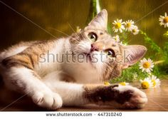 Striped cat lies with daisies on a brown background
