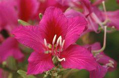 Bauhinia - Flickr - Photo Sharing!