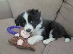 A list of the cutest black and white border collie pictures. Are you in the mood to see some adorable photos of border collies? This is a list of some of the cutest black and white border collie photos. Cute Puppies, Dogs And Puppies, Cute Dogs, Doggies, Yorkie Puppies, Teacup Chihuahua, Bulldog Puppies, Border Collie Welpen, Border Collie Puppies