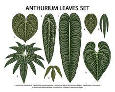 Leafy Plants, Foliage Plants, Leaf Identification, Ferns Garden, Alpine Plants, House Plants Decor, Miniature Plants, Plant Illustration, Tropical Leaves