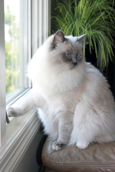 J McKain - Blue Point Mitted Ragdoll - my Gracie