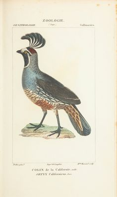 """Extinta: Colin ou Perdiz da Califórnia, que  era encontrada no Oeste dos EUA - em """"Atlas de Zoologia"""" (1844), de Paul Gervais. Veja também: http://semioticas1.blogspot.com.br/2014/03/zoologia-segundo-gervais.html"""
