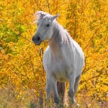 White Horse among Yellow Leaves by Anatoly Shelupaev