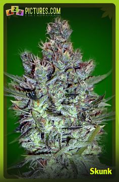 This marijuana strain is a combination of 75% Sativa and 25% Afghani plant. It originates in Northern California and was first introduced in the 70s to many people. It is also the first hybrid made by many marijuana strain manufacturers. This strain is called the Skunk.