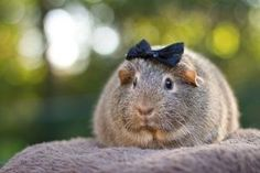 Guinea pigs wearing bows!
