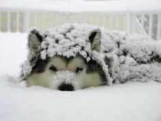I think this is husky not wolf!? (another pinner said wolf...)?