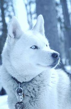 Wonderful All About The Siberian Husky Ideas. Prodigious All About The Siberian Husky Ideas. Alaskan Husky, Beautiful Dogs, Animals Beautiful, Cute Animals, Cute Husky, Husky Puppy, Cute Puppies, Cute Dogs, Corgi Puppies