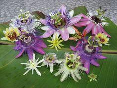 Passiflora Flowers Flora Flowers, Exotic Flowers, Tropical Flowers, Amazing Flowers, Purple Flowers, Arrangements Ikebana, Flower Arrangements, My Flower, Flower Power