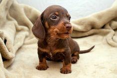 Baby dachshund:  Meet Caron.