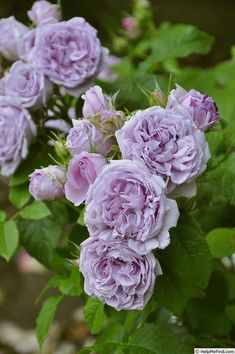 Hybrid Tea Rose: Rosa 'Le Ciel Bleu' (Spain, An amazing colour. Love Rose, My Flower, Pretty Flowers, Lavender Roses, Purple Flowers, David Austin Rosen, Rose Foto, Ronsard Rose, Coming Up Roses