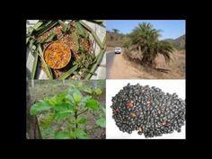 Medicinal Rice P5N Formulations for Stenomesson Excess: Pankaj Oudhia's ...