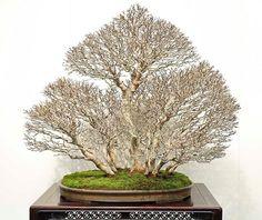 Bonsai Nakayoshi's tree with suckers