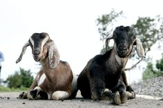 Mutton prices in Bengaluru skyrocket as traders, farmers face fodder shortage – Amaravathipost Baby Animals, Cute Animals, Wild Animals, Texas Parks, Satanic Rituals, Fear Of The Unknown, Rare Disease, Vegan Animals, God Prayer