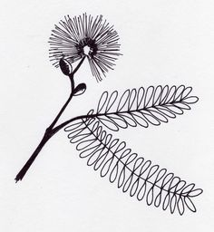 """Mimosa pudica is called """"sensitive plant"""" and """"tickle me plant."""" It is fun to grow because the small, ferny leaves close when touched. Pudica means ashamed or bashful. It's a tropical plant that can b. Mimosas, Touch Me Not Plant, Mimosa Plant, Grandfather Clock Tattoo, Flor Tattoo, Sensitive Plant, Plant Tattoo, Tattoo Tree, Filipino Tattoos"""