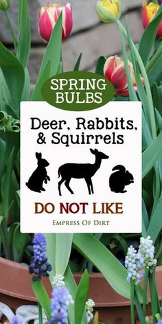 Find out which flowering bulbs deer, rabbit, and squirrels do not like. There aren't many but you have a few options. #bulbs #floweringbulbs #springbulbs #fallgardening #gardens #gardening #gardentips #empressofdirt #flowers