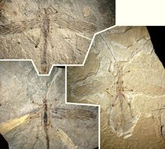 Earliest Known Stick Insect Fossils Discovered in China   Paleontology   Sci-News.com Cretophasmomima melanogramma possessed adaptive features that make it resembling a plant recovered from the same locality. Its wings have parallel dark lines and when in the resting position, likely produced a tongue-like shape concealing the abdomen. Fossils from the gymnosperm plant Membranifolia admirabilis have been documented in the area with similar tongue-shaped leaves along with multiple…