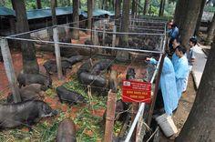 Cận cảnh trang trại lợn rừng hữu cơ độc đáo ở VN - Yume