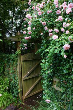 Pink rose arch above wooden gate