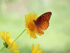On the first day of Summer, a fresh Fritillary Butterfly visits the yellow Coreopsis daisy flowers. Image captured in our New Hampshire garden on a beautiful, warm day in New England.