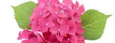 Hydrangea macrophylla, meglio conosciuta come ortensia, è una pianta a foglia caduca molto rustica e di facile coltivazione, apprezzata per la bellezza dei fiori che sbocciano a giugno e durano tutta l'estate. Per stimolare la produzione di fiori adesso deve essere potata correttamente.