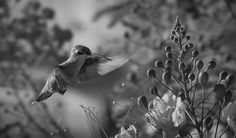 William captured the flight of a tiny hummingbird in this wonderful black and white nature shot. Between the sharp focus of the foreground plants, the hint of movement of the bird's wings, and the gloriously blurred background, this is an excellent example of what wildlife photography should be! Well done William!