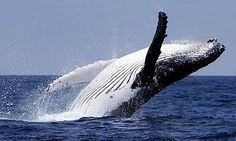 Humpback Whales-AMAZING CREATURES IN REAL LIFE!