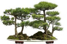 Japan Pollen-Free Cedar Tree