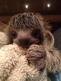 Here's a sloth to brighten up your day. Three toed sloths are so cute!!!!!!