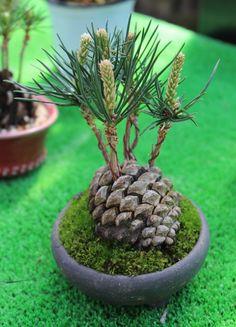 #松ぼっくり #盆栽 #bonsai-art (Via: BONSAI FROM MIKUNI ) へぇ...松ぼっくりってこんな風になるのね。 化粧砂がご入用ならK砂を!