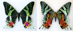 Sunset Moth by The Field Museum, via Flickr