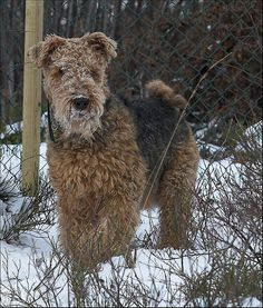 I want an Airedale Terrier and when I get one I will name him Charlie