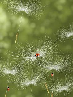 Diesen Augenblick fotografisch zu erhaschen, ist einfach phantastisch! Die Pusteblumen - Schirmchen fliegen mit süßen kleinen Marienkäferchen durch die Lüfte!