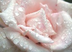 Pretty pastel pink rose with rainwater of the petals❣