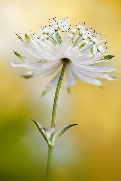 Astrantia 'Shaggy' ✿ white flowers ✿