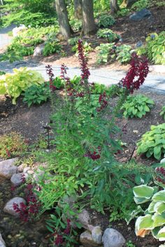 Lobelia X speciosa 'Ruby Slippers, a beautiful dark red Cardinal Flower with purple undertones.