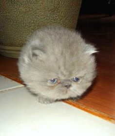 Dust ball...? Furby...? Or just a gray Persian kitten?