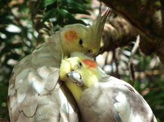 A Parrot Pair by insolitus-mundus.deviantart.com