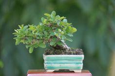 Mame pyracantha bonsai