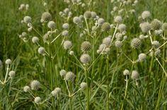 Prairie Moon Nursery :: Seeds :: Eryngium yuccifolium (Rattlesnake Master)