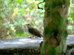 House Sparrow (Passer domesticus). Female. — at Mettupalayam, Coimbatore.
